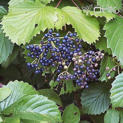 SOUTHERN ARROWWOOD Viburnum Dentatum 20+EXTRA seeds #434