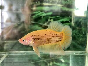 betta fish male Giant Solid Yellow