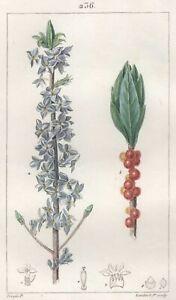 Decoration-Botanique-Fleur-Mezereon-Gravure-Pierre-Jean-Francois-Turpin