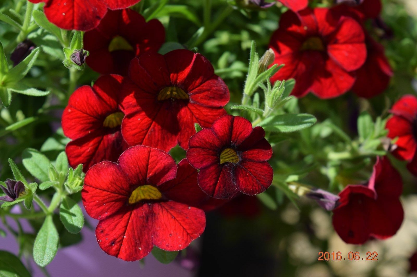 PETUNIA Kabloom Calibrachoa Series RED 20 QUALITY fresh Seeds