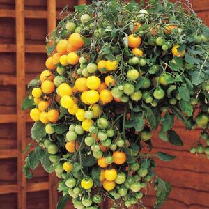 Tumbling-Tom-Yellow-Tomate-Ampeltomate-10-Samen-Saatgut-Seeds