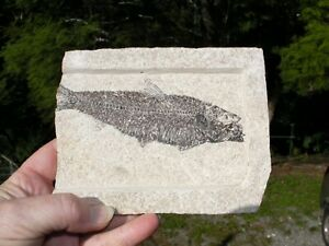 FOSSIL-FISH-DINOSAUR-ERA-KNIGHTIA-USA-Large-Display-Plate