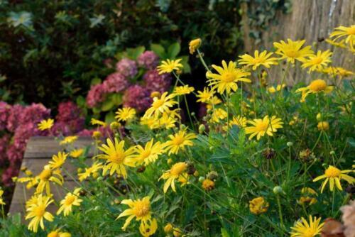 Golden Marguerite Daisy Yellow Chamomile-Perennial Anthemis Tinctoria 50 Seeds