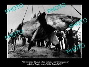 OLD-LARGE-PHOTO-OF-HUGE-GREAT-WHITE-SHARK-CAUGHT-OFF-PHILLIP-ISLAND-VIC-c1987