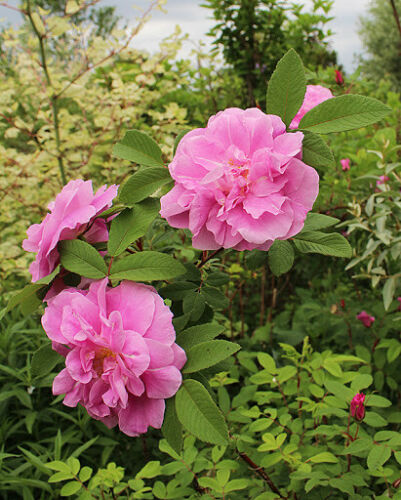 """6-8/"""" Long Very Fragrant Hybrid Rugosa Rose /'Therese Bugnet/' 10 Plant Cuttings"""