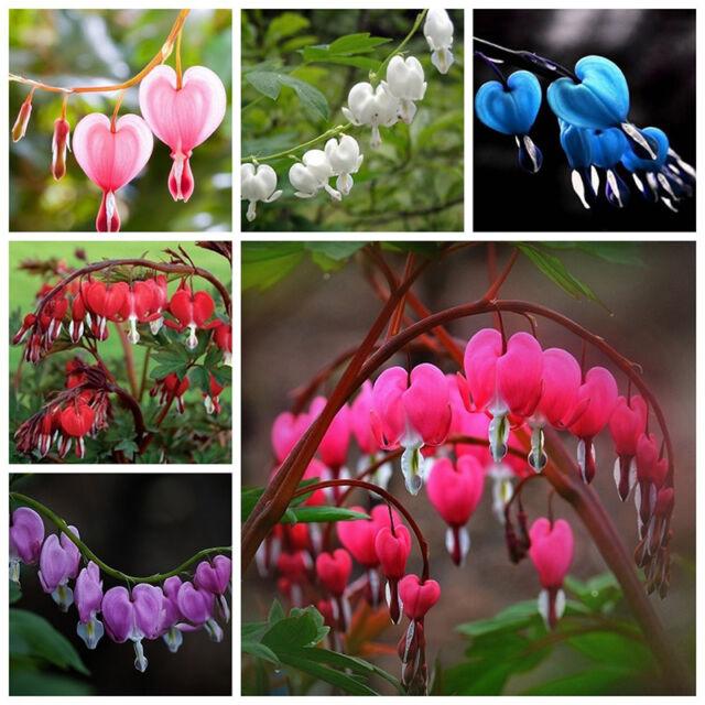 10pcs Perennial Herbs Dicentra Spectabilis Flower Plant Bleeding Heart Seeds Neu