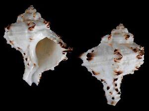 Hexaplex-cichoreum-depressospinosus-Shells-from-all-over-the-World-NEW