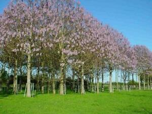 BEAUTIFUL PAULOWNIA TREE Paulownia Elongata FREE S/&H 100 SEEDS