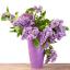 50-Pcs-Graines-Lilas-Bonsai-Clove-Fleurs-Arbre-Plantes-en-Pot-Maison-Jardin-Neuf-2019 miniature 4