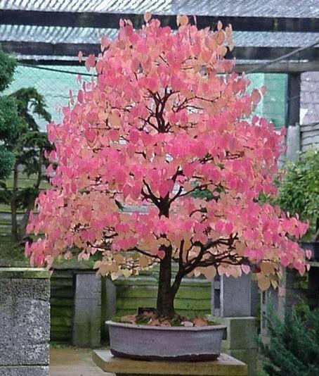 Cercidiphyllum japonicum (Katsura tree) 15 Rare viable seeds - perfect as bonsai