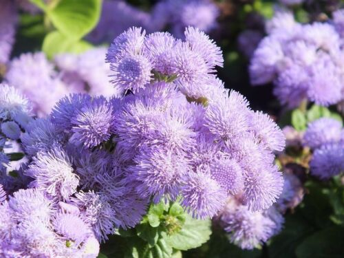 Fairy Flower Seed Ageratum Blue Mink seed x 200 seeds Bedding Plant