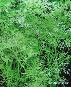 DILL-ALLIGATOR-200-Samen-Aromatisch-Buschdill-Russische-Sorte-Dill-seeds