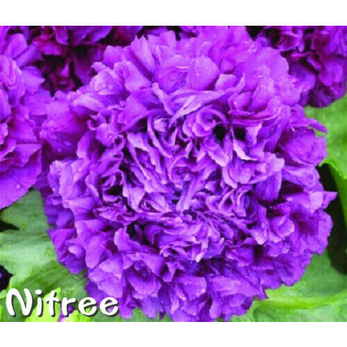 Charm Purple Perennial Peony Roots Gardening Home Potted Plants Flowers Blooming