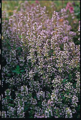 Herb - Thyme - Purple Creeping - 3500 Seeds