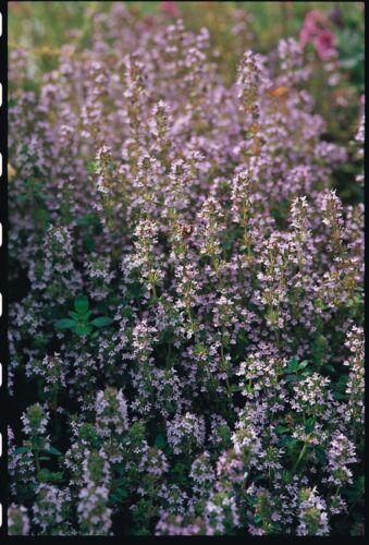 Herb thym rampant pourpre 3500 graines
