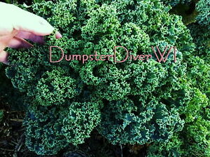 Dwarf-Blue-Curled-Kale-100-Organic-seeds-vitamin-packed-Delicious-greens