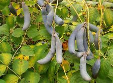 2x of Blue Sausage Shrubs  Decaisnea  flowering shrub, hardy, edible fruit