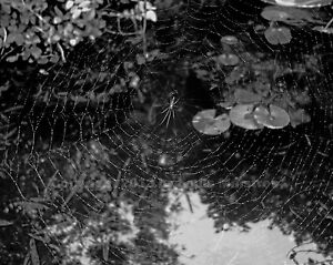 Swamp-Spider-amp-Web-1-NEW-ORLEANS-Nature-8x10-Photo-Signed-by-Louis-Maistros