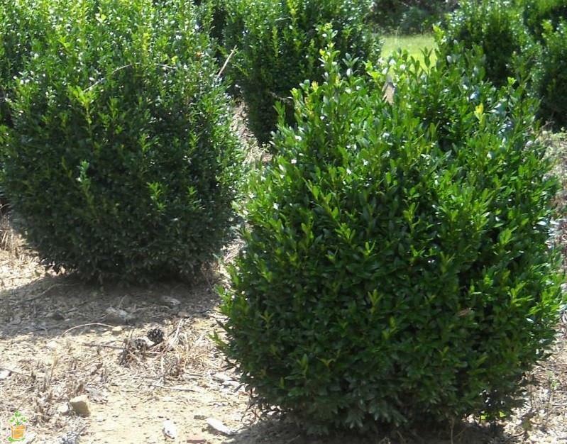 Common Boxwood- 8 Cuttings (Buxus sempervirens) shrub hedge - Tasmanian Grown