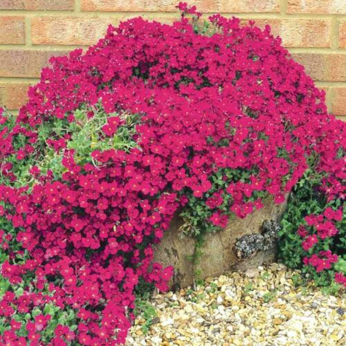 FL192 100 Red Rockcress Cascading Seeds-Mat forming AUBRIETA HYBRIDA  //