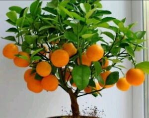 Rare Mandarin Orange Bonsai , Heirloom Fruit 10 Seeds, Home Bonsai plant seeds