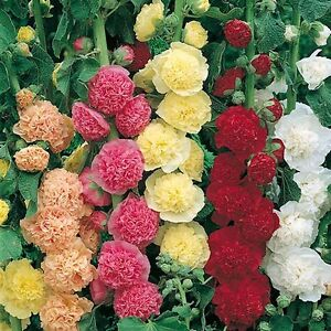 PERENNIAL-FLOWER-HOLLYHOCK-CHATERS-DOUBLE-MIXED-240-SEEDS
