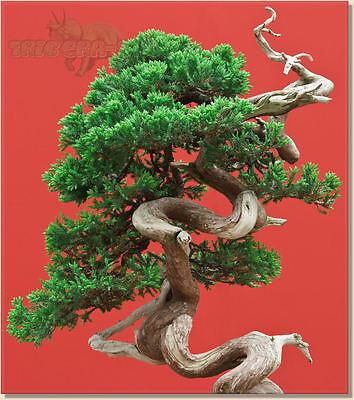 ** CHINESE JUNIPER ** Bonsai Tree SEEDS * Juniperus Chinensis * Fresh Seeds
