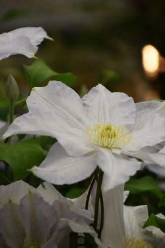 Clematis /'Ice Blue/'