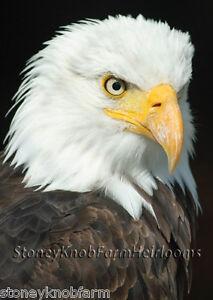 American Bald Eagle Flight USA Bird Counted Cross Stitch Pattern