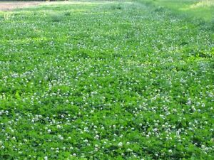 Durana clover Seed 1 Lb