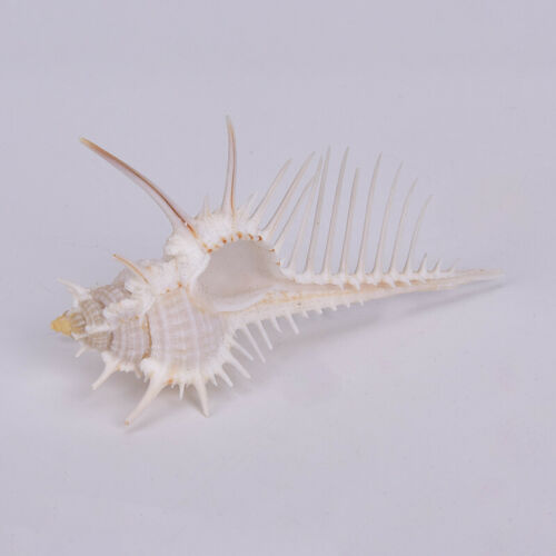 1pc Natural Murex Pecten Shell Conch Coral Sea Snail Home Fish Tank Ornament UK