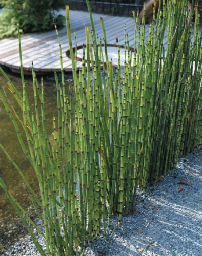 LIVE architectural plant Equisetum hyemale cold hardy evergreen 10+ reeds 40F