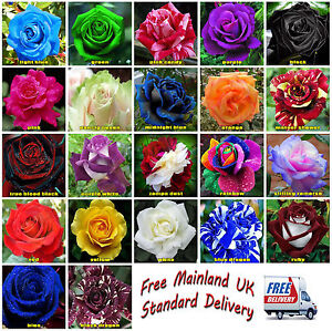 25x-Rare-Multi-Colors-Rainbow-Rose-Flower-Seeds-Garden-Plant-Other-Colors