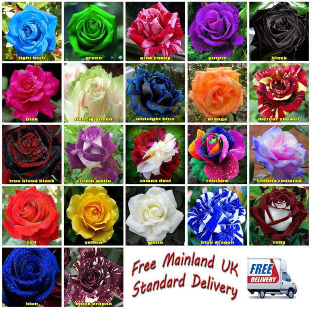 25x Rare Multi Colour Rose Flower Seeds Home Garden Plant UK Seller