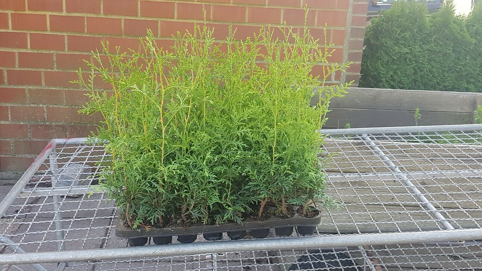 Lebensbaum  20-25 cm Smaragd 50 Stück Thuja occidentalis T9x9 Hecken