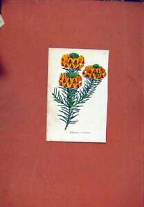 Original-Old-Antique-Print-Pultenaea-Flower-Plant-C1831-Colored-19th-Century