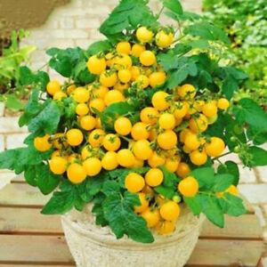130PCS-Cherry-Tomato-Yellow-Ole-Fruit-Seeds-Balcony-plant-Garden-Greenhouse