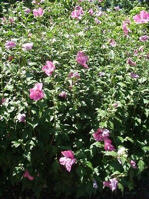 30 WHITE CHIFFON ROSE OF SHARON SEEDS Hibiscus syriacus