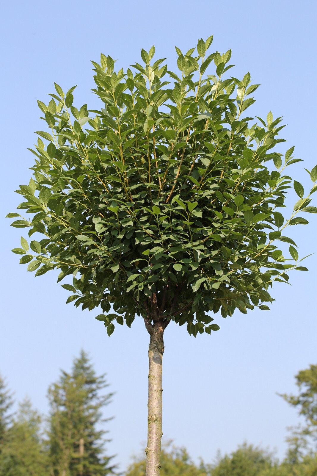 Kugel-Kirsche, Höhe  180-190 cm, Stämmchen, Prunus fruticosa Globosa + Dünger