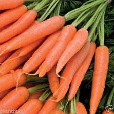 Vegetable Seed CARROT 'EARLY NANTES'- Long Root Carrot Seed - Pack of 100 Seeds