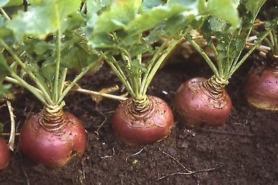 Swede Ruby Min 1000 seeds Disease resistant - Vegetables/Fruits