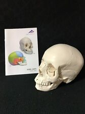 3B Scientific A290 Beauchene Adult Human Skull Model -Bone Colored A290 Anatomy