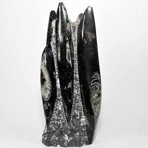 9 8 5 3lb Orthoceras Fossils Specimen Standup Sculpture Nautiloid Cephalopod Ebay