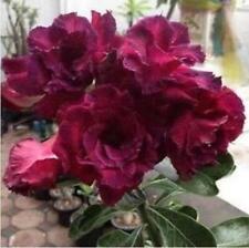 "5 pcs Desert Rose Flower Adenium obesum Seeds /""Purple edge/"" #A018"