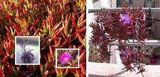 Hottentotten-Feige Duftstrauch Duftstaude Duftgräser für den Balkon Garten Deko