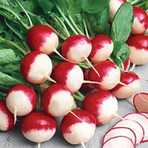 Sparkler White Tip Radish Seed Garden Radishes Vegetable Seeds ¼oz to 8oz