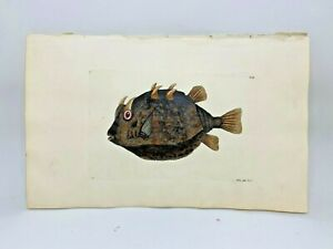 Eared-Horned-Fish-1783-RARE-SHAW-amp-NODDER-Hand-Colored-Copper-Engraving