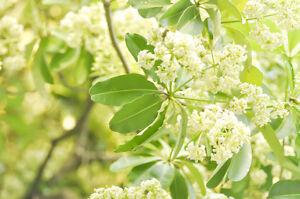 DITABAUM-schoen-bluehender-Baum-selten-exotische-Pflanzen-Samen-Zierbaum