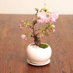 10-pcs-Garden-Japanese-Sakura-Seeds-Bonsai-Flower-Cherry-Blossoms-Garden-Decors