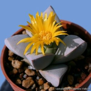 Schwantesia-loeschiana-Seed-Arid-Living-Small-Succulent-Free-Flowering-Yellow